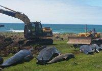 В Новой Зеландии на берег опять выбросились черные дельфины