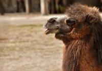 В Иркутске 8 часов спасали верблюда, попавшего в ДТП