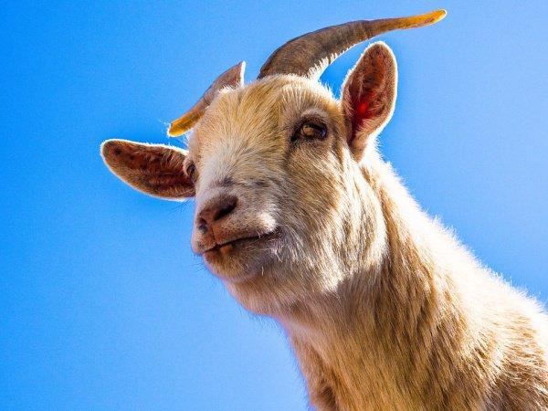 При этом коза, которая съела деньги, за собственную прожорливость поплатилась: ее приготовили на вертеле