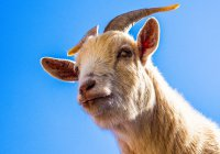 В Сербии коза съела 20 тыс. евро и поплатилась