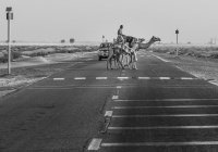 Патрули на верблюдах появились в полиции Абу-Даби