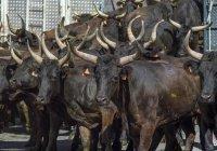 В Киргизию в салоне Mercedes попытались провезти 10 быков