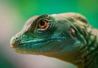 В Коста-Рике ученые сняли дыхание ящерицы под водой (ВИДЕО)