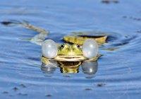 В Африке обнаружена лягушка-каннибал