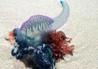 «Эпидемия медуз» началась в Австралии