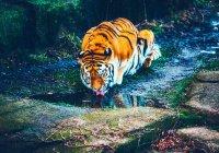 Тиграм предрекают скорое исчезновение