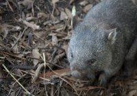 Власти Австралии просят делать меньше селфи с вомбатами
