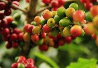 Ученые предсказали полное исчезновение кофе