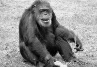 Умер старейший шимпанзе Японии
