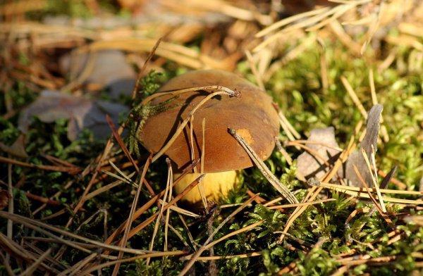Другие виды грибов также содержат соответствующие вещества, однако в белых их концентрация выше всего