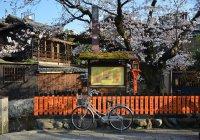 Названы даты цветения сакуры в Японии
