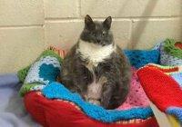 Самая толстая кошка Британии в четвертый раз стала сиротой (ФОТО)