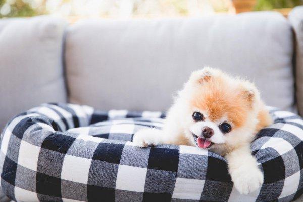 У Бу были проблемы с сердцем после того, как скончался его лучший друг — собака Бадди
