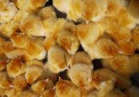 Создатели овечки Долли сделают цыплят, устойчивых к гриппу