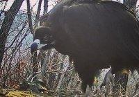 Самую крупную в России птицу запечатлели в Приморье (ВИДЕО)