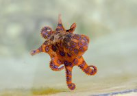 В Австралии турист подержал ядовитого осьминога (ВИДЕО)
