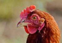 Куры научились нести яйца, которые способны победить рак