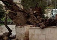 В Хевроне обрушился знаменитый библейский дуб