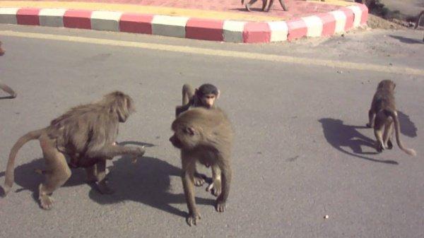 Обезьяны доставляют неудобства жителям Саудовской Аравии регулярно.