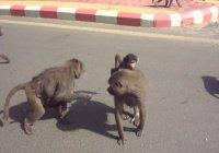 Студенток в Саудовской Аравии атаковали обезьяны (Видео)