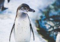 Очень редкого черного пингвина запечатлели на видео