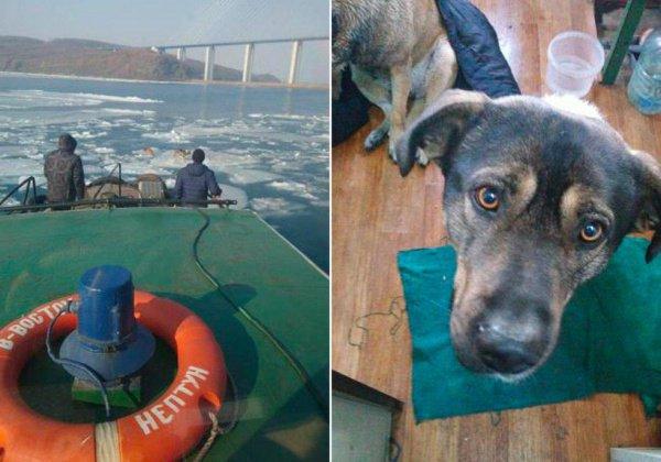 Моряки спасли собак с дрейфующей льдины во Владивостоке (ФОТО)